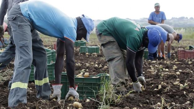Das Bild zeigt zwei dunkelhäutige Flüchtlinge beim Ausgraben von Kartoffeln auf einem Acker.