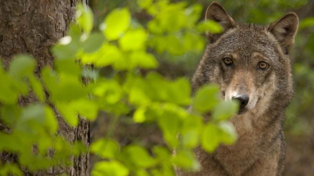 Der Wolf - er bleibt in der Schweiz weiterhin geschützt.