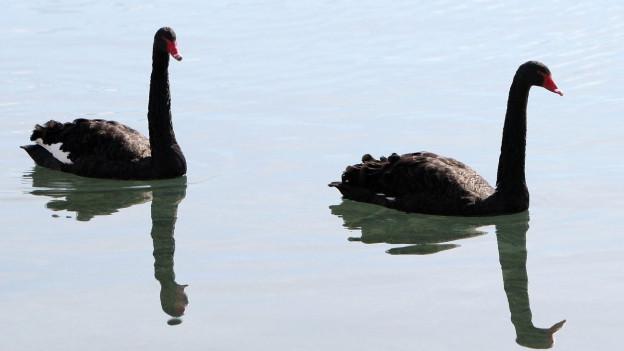 Zwei schwarze Schwäne tummeln sich auf einem See.