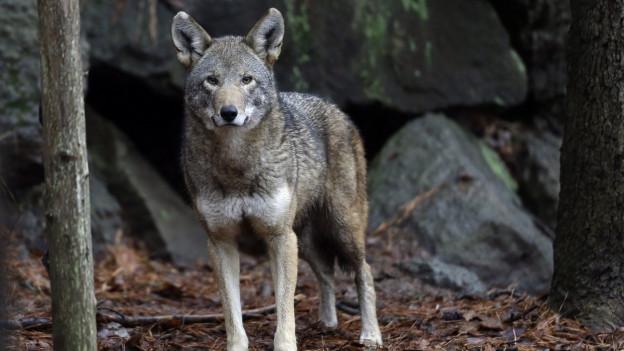 Ein Rotwolfweibchen.