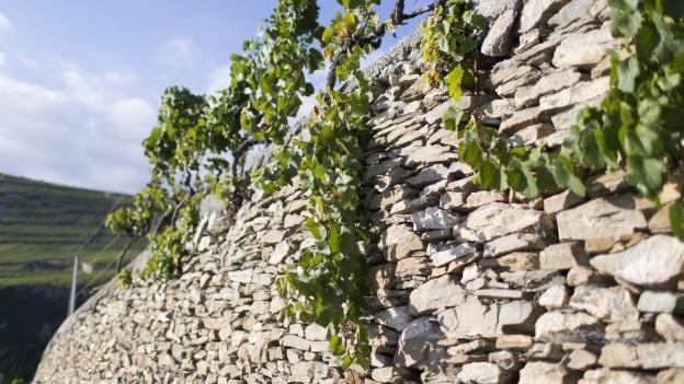 Im Vordergrund sieht man eine hellgraue Mauer aus Naturstein, die von Reben bewachsen ist. Im Hintergrund ist blauer Himmel zu sehen.