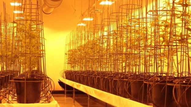 Eine Reihe von Hanfpflanzen in Töpfen - unter Wärmelampfen im gelbem Licht.
