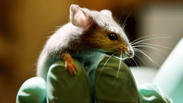 Im Labor: Eine Maus sitzt auf der Hand eines Forschers.
