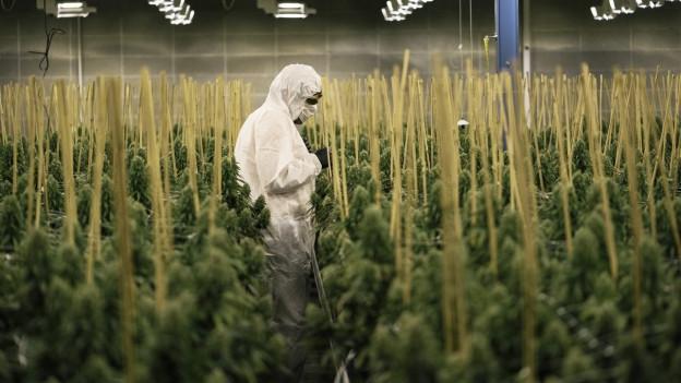 Ein Mann in einem weissen Overall steht inmitten Dutzender Cannabis-Pflanzen. Die Thurgauer Firma Medropharm ist spezialisiert auf Cannabis-Produkte pharmazeutischer Qualität.