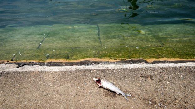 Toter Fisch am Rheinufer in Schaffhausen. Vor allem die Kälte liebende Äsche leidet unter der momentanen Hitze.