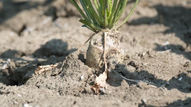 Eine Zuckerrübe in der Erde.