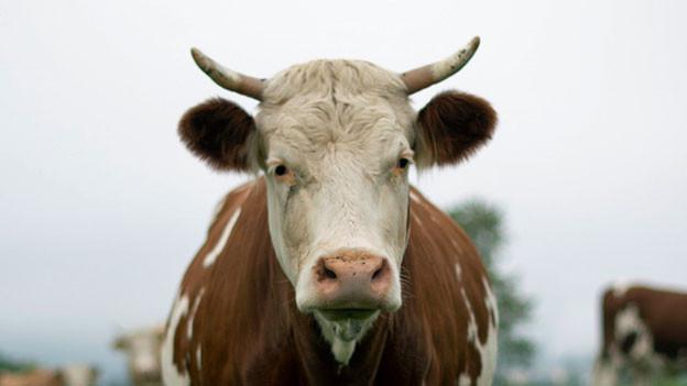 Kuh mit Hörnern.