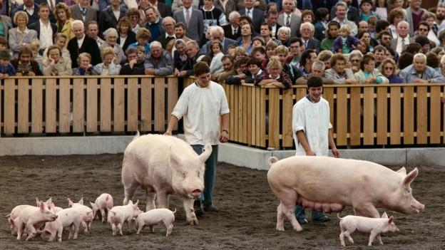 Zwei grosse Schweine werden mit ihren Ferkel dem Publikum gezeigt.