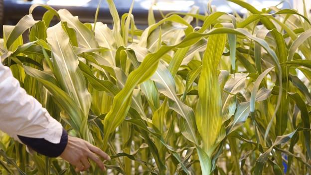Ein Forscher kontrolliert Maispflanzen im Labor.