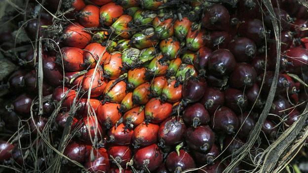 Palmölfrüchte in Muar, Malaysia. Indonesien und Malaysia sind die weltweit größten Produzenten von Palmöl aus Palmenfrüchten.