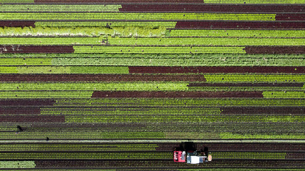Salatfeld in Galmitz, Kanton Bern.