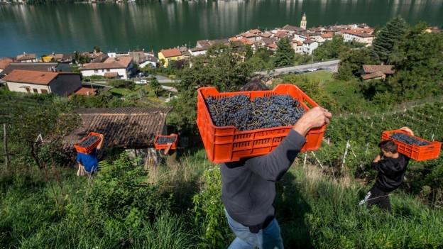 Arbeiter bei der Weinlese in Brusino TI. Im Hintergrund der Luganersee.