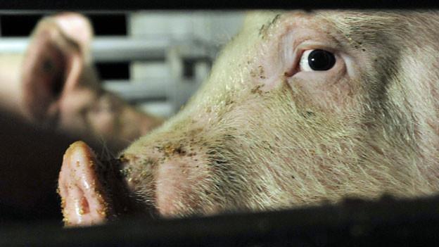 Schwein im Viehtransporter auf dem Weg zum Schlachthof.