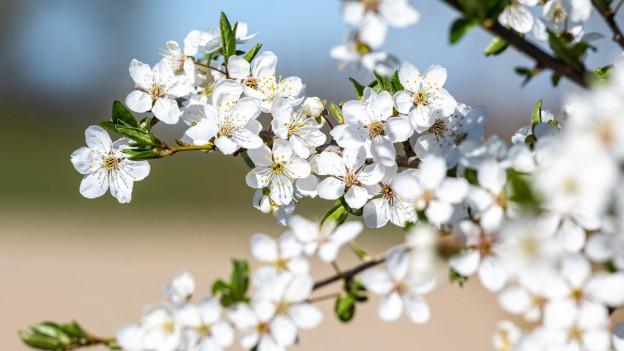 Blüten in ihrer vollen Pracht