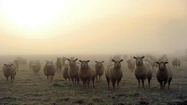 Die Spieler von Schachtjor Karaganda sind in Schottland auf der Suche nach einem Schaf.