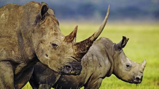 Beim Schutz bedrohter Tierarten soll es zu schweren Menschenrechtsverletzungen gekommen sein - begangen durch kriminelle Wildhüter im Auftrag des WWFs.