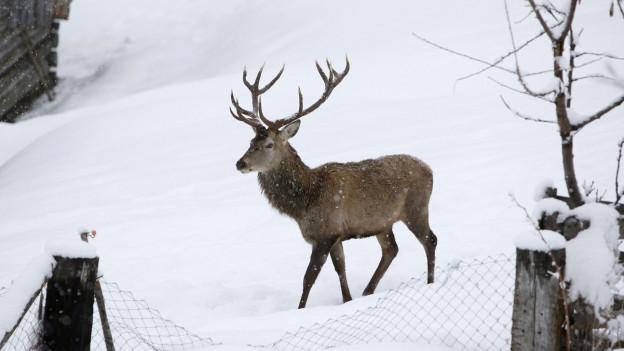 Im Magen eines Hirsches in Graubünden wurden 6 kg Plastik gefunden