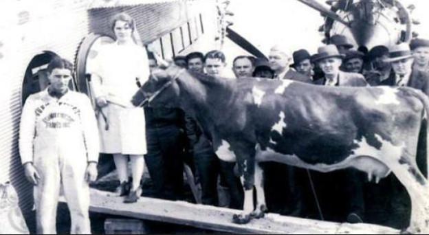 Erste fliegende Kuh seit Menschengedenken: «Ollie»