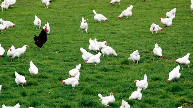 Auf einer Hühnerfarm.