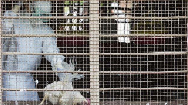 Seuchenbekämfpung in Nepal: Dort ist die Vogelgrippe vor wenigen Tagen ausgebrochen.
