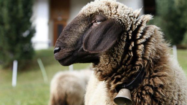 Könnte die Überwucherung der Alpweiden stoppen: das engadiner Schaf.