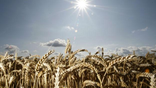 Nahaufnahme eines Weizenfeldes, im Hintergrund scheint die Sonne.