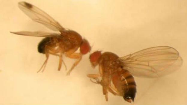 Links eine mämmliche, rechts eine weibliche Kirschessigfliege.