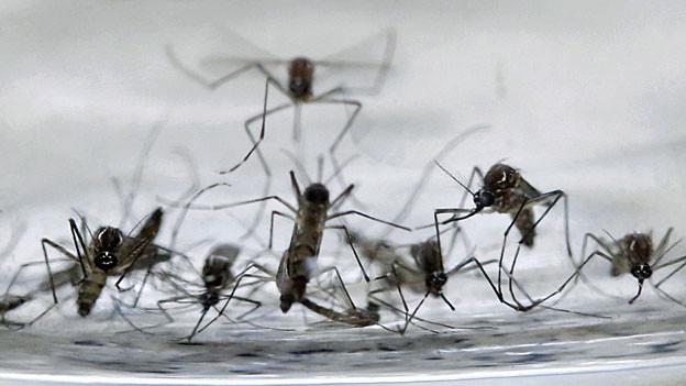 Die Überträgermücken des Zika-Virus, Aedes Aegypti.