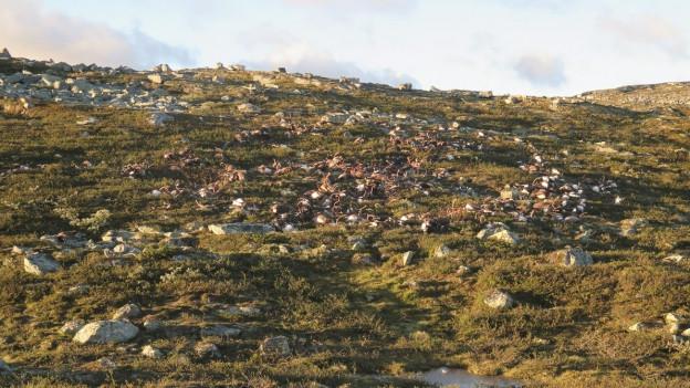 Die Hardangervidda Hochebene in Norwegen: Hier haben die Wildhüter die rund 300 toten Tiere gefunden.