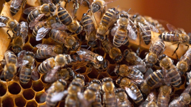 Das Bild zeigt Bienen des Baselbieter Imkers Benedict Reinhardt auf einer Aufnahme aus dem Frühling 2010.