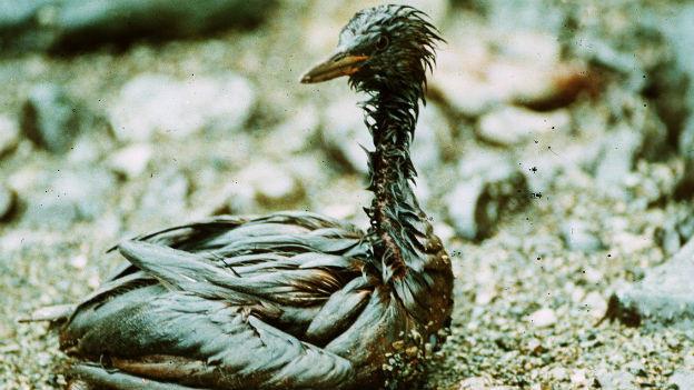 Ein ölverschmierter Vogel in Alaska nach der Ölkatastrophe Exxon Valdez 1989.