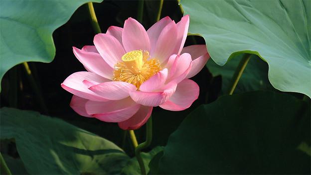 Die Lotosblume ist ein Symbol für Einkehr.