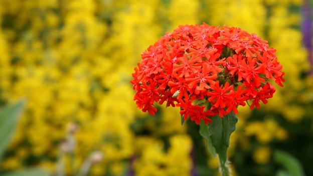 Die kleinen Blüten der Scharlachlichtnelke erinnern an ein Malteserkreuz.