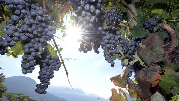 Nicht alle Tessiner Traubensorten geniessen einen guten Ruf.
