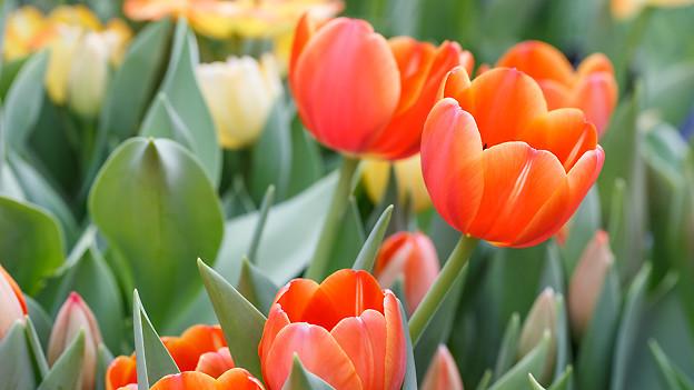 Gelbe und orange Tulpen.