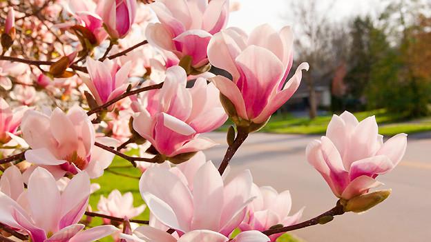 Frühling im Mai: Jetzt blühen die Magnolien wieder in voller Pracht.