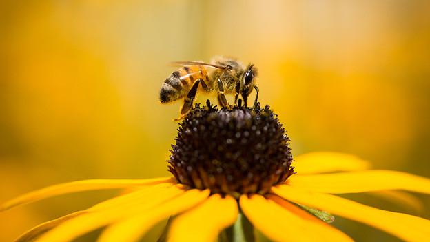 Eine Biene saugt den Nektar aus einer Blüte.