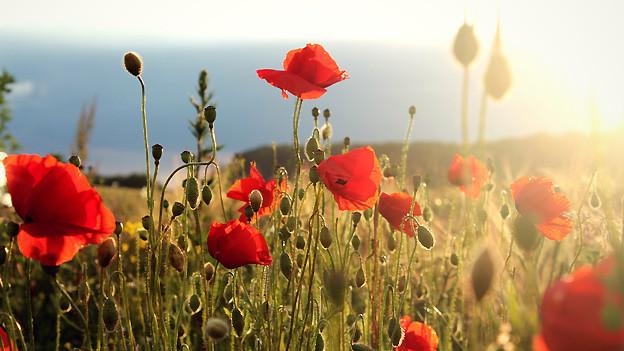 Ein Felder voller Mohnblumen im sanften Sonnenschein.