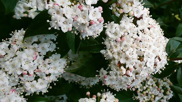 Aus den rosa Blüten im Frühling, wachsen im Sommer blau-schwarze Früchte heran.