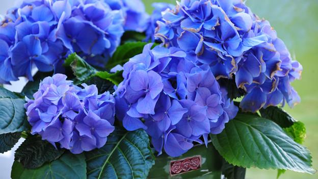 Blaue Hortensien benötigen einen pH Wert von 4,0 - 4,5. Das sind ähnliche Bodenbedingungen wie für Rhododendron.