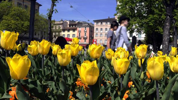 Tulpen blühen am Quai von Lugano.