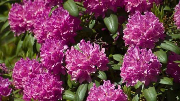 Weltweit existieren über 1000 Rhododendron-Arten.