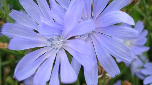 Die Zicchorie betört auch durch ihre strahlenden Blüten.