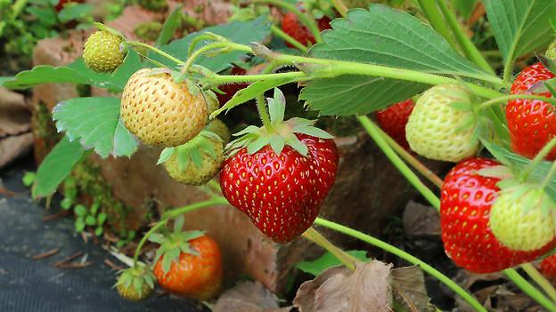 Wer jetzt Erdbeeren pflanzt, kann die süssen Früchte aus dem eigenen Garten im nächsten Sommer geniessen.
