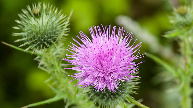 Eine lila Kugeldistel.