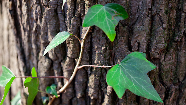 Langsam aber stetig, klettert der Efeu den Baumstamm hoch.