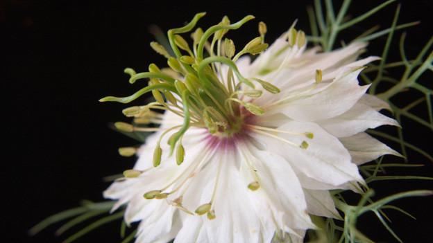 Blüte mit Samen der Nigella, auch bekannt als Jungfer im Grünen.