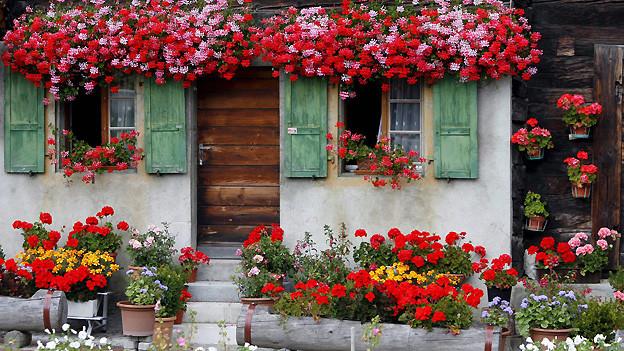 Geranien werden als pflegeleichte Pflanzen geschätzt und sind in der Schweiz weit verbreitet.