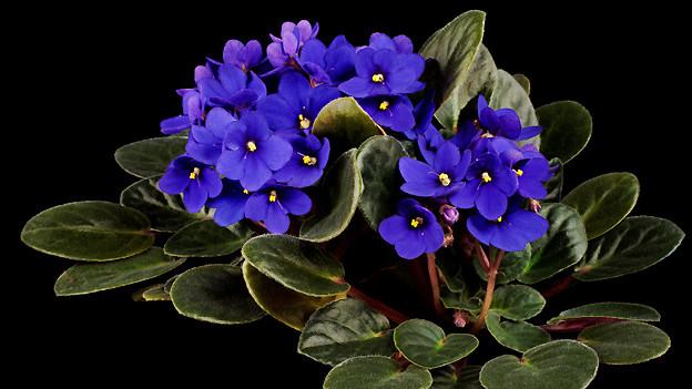 Blühendes Paulus- oder Usambara-Veilchen.