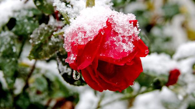 «...hat ein Blümlein bracht, mitten im kalten Winter...» lautet eine Verszeile im Weihnachtslied «Es ist ein Ros entsprungen».